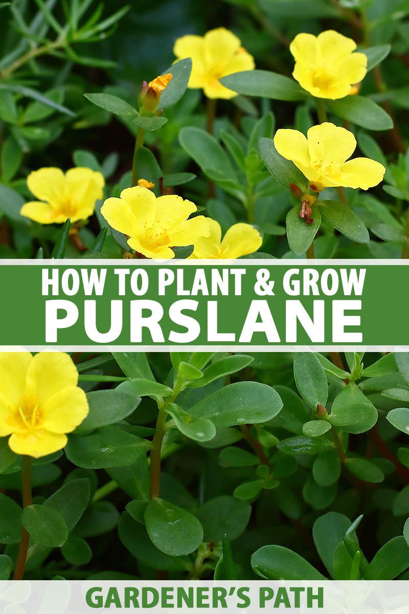How To Plant And Grow Purslane Gardener S Path
