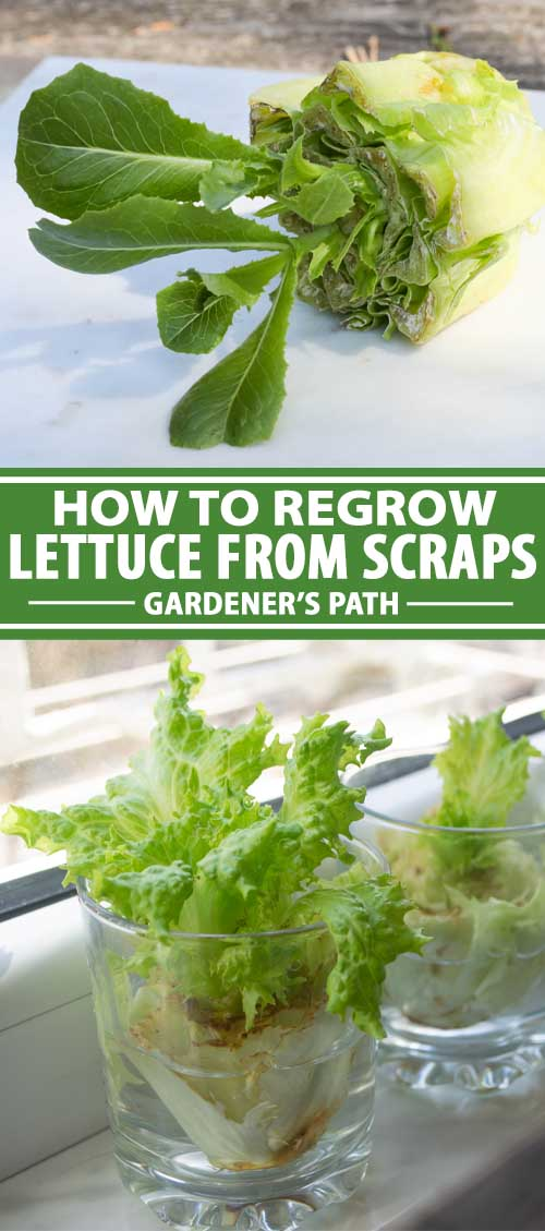 A collage of photos showing different views a lettuce regrown from kitchen scraps.
