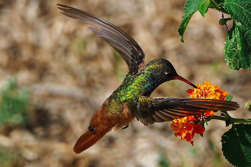 A close up of a hummingbird feeding on a red and yellow flower on a soft focus background.