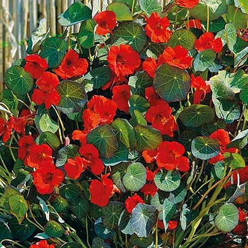 A close up of the bright red flowers of Tropaeolum 'Indian Chief,' pictured growing in the garden in bright sunshine.