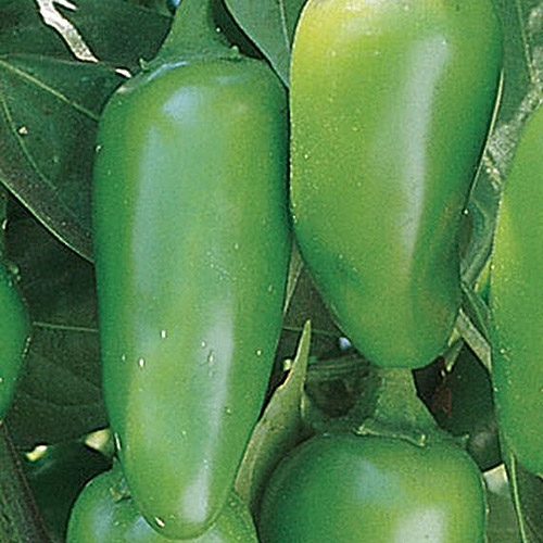 A close up of a bright green 'Jalapeno' pepper plant with ripe fruits.