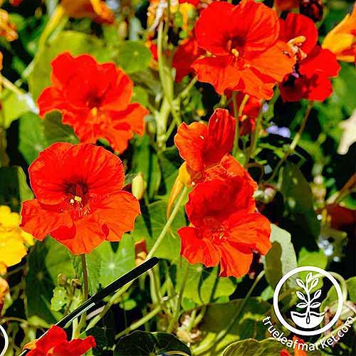 A close up of the bright red flowers of Tropaeolum 'Jewel' pictured in bright sunshine. To the bottom right of the frame is a white circular logo with text.