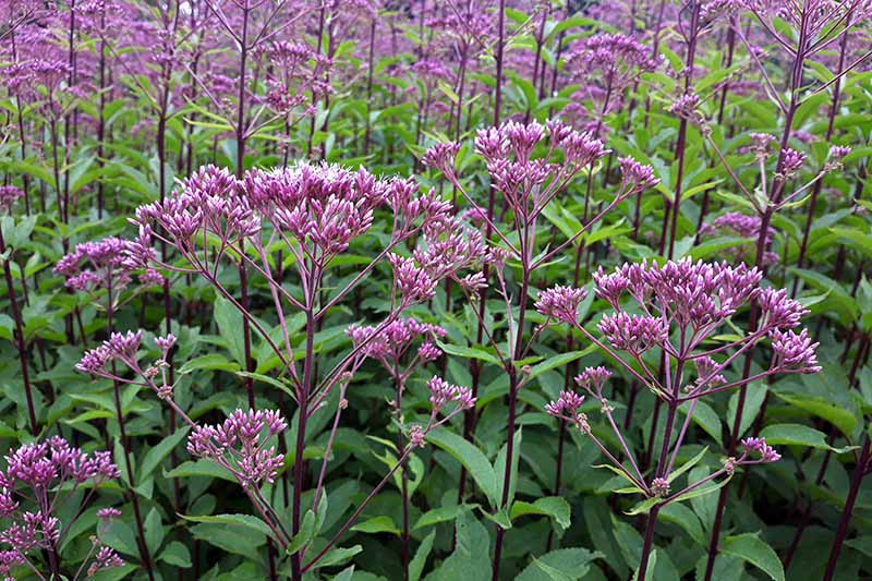 A close up of the purple blooms of joe-pye weed growing in the garden on a soft focus background.