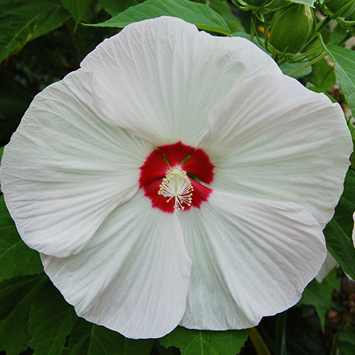 A close up of the 'Kopper King' variety of Hibiscus hybrid surrounded by foliage.
