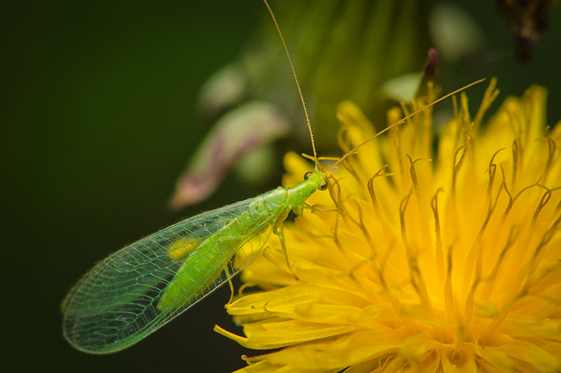 A lacewing insect feeding on the yellow flower of a dandelion on a soft focus green background.