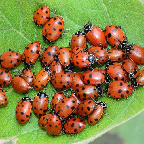 A close up of a number of ladybugs on a green leaf.
