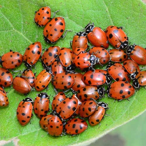 A close up of beneficial ladybugs on a green leaf.