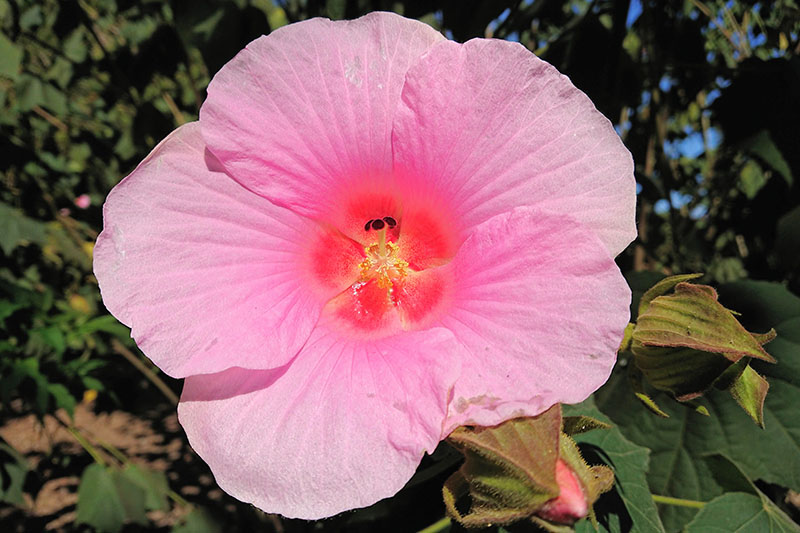 A large pink rose mallow flower growing in the garden in bright sunshine on a soft focus background.