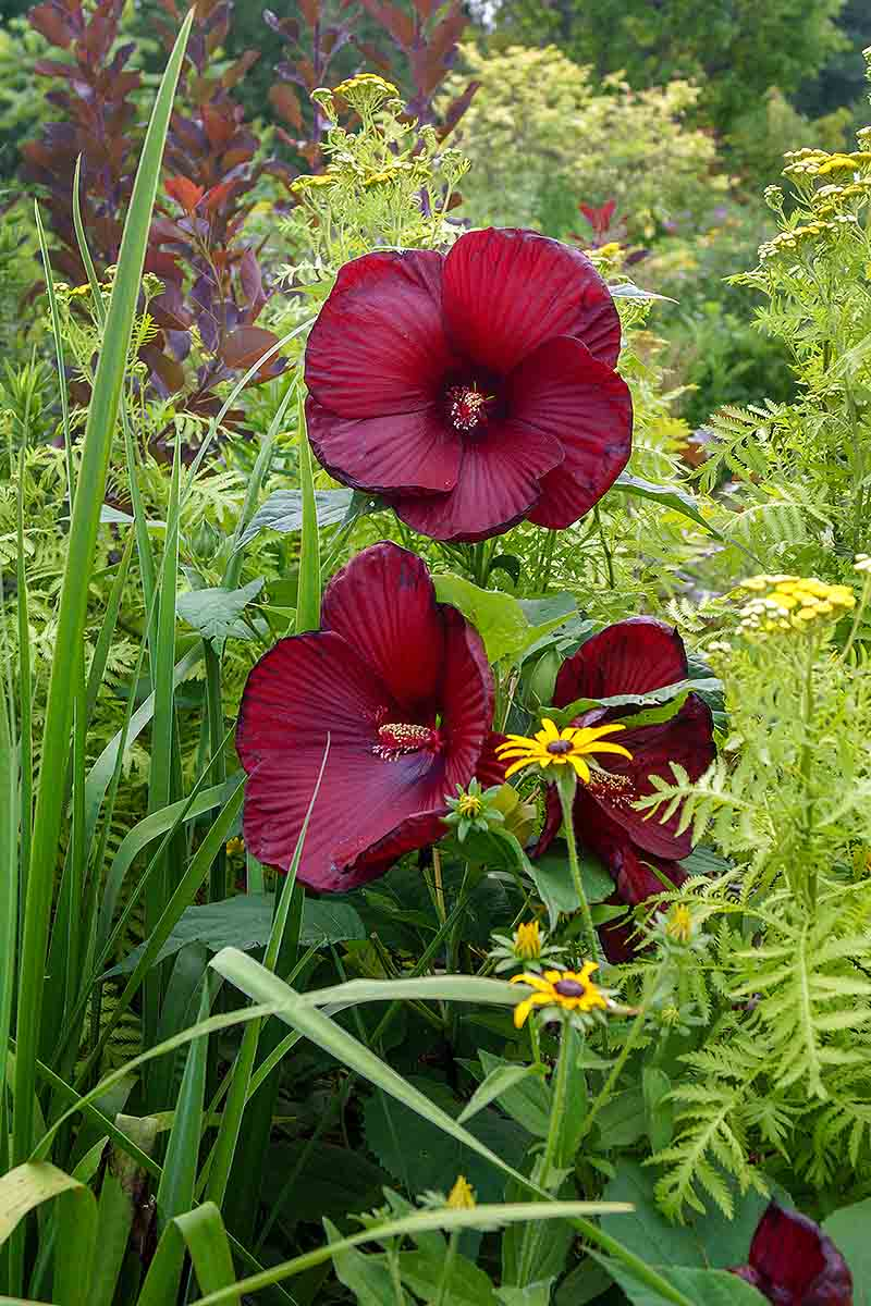 A vertical picture of large red H. moscheutos flowers growing in the garden surrounded by other foliage.