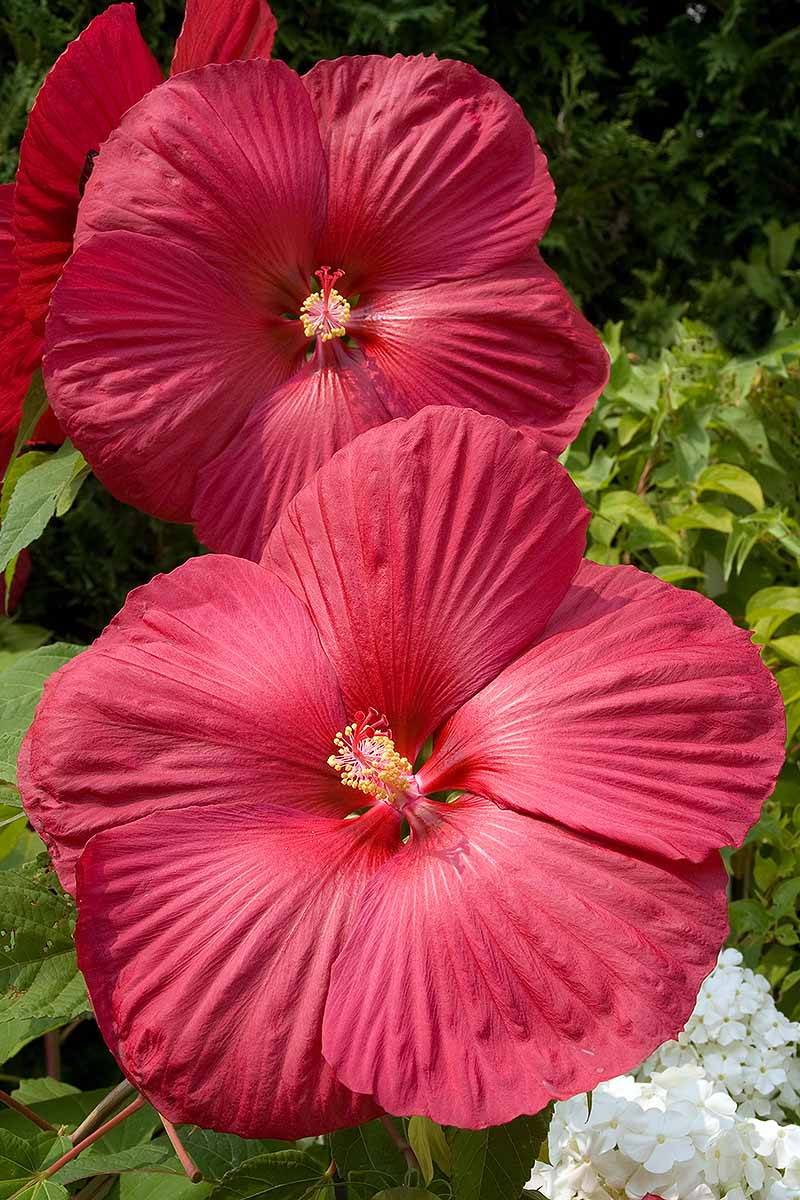 A vertical picture of the large dinner-plate sized flowers of the hardy hibiscus plant pictured in the bright sunshine, growing in the garden on a soft focus background.