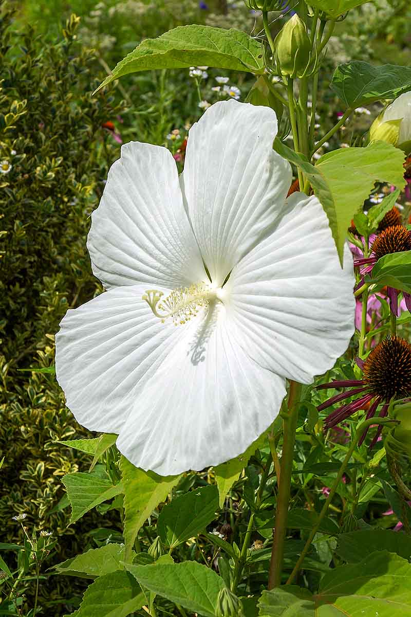 A vertical close up picture of a white hardy hibiscus flower growing in the garden surrounded by green foliage.