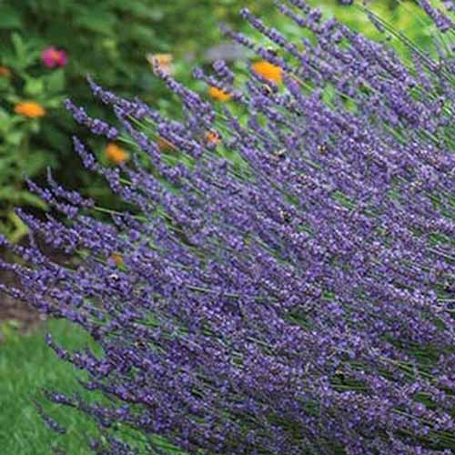 A close up of a lavender plant growing in the garden on a soft focus background.