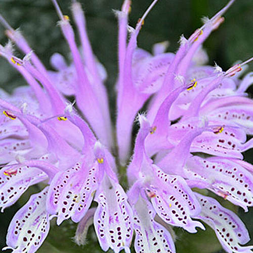 A close up of the Monarda cultivar 'Leading Lady Lilac,' a purple flower with dark spots. The background is soft focus.