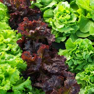 Different cultivars and varieties of lettuce growing in a home garden.