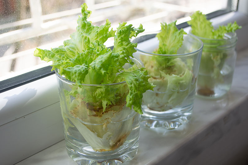A close up of three glasses on a windowsill with lettuce scraps that are regrowing, fading to soft focus in the background.