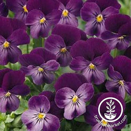 A close up of 'Lilac Ice' pansy cultivar, with beautiful purple blooms and a small yellow eye on a soft focus background.