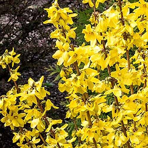 A close up of the bright yellow flowers of the 'Magical Gold' variety of forsythia, growing in the garden in bright sunshine with trees in soft focus in the background.