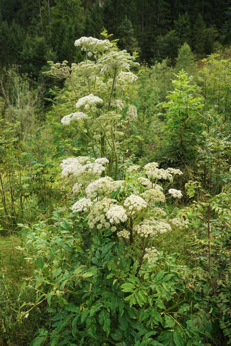 A vertical picture of A. archangelica with white flowers growing on upright dark red flower stems, with foliage at the base and a garden scene in soft focus in the background.