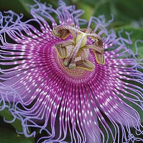 A close up of Passiflora incarnata 'Maypops' bloom with purple petals and filaments on a soft focus background.