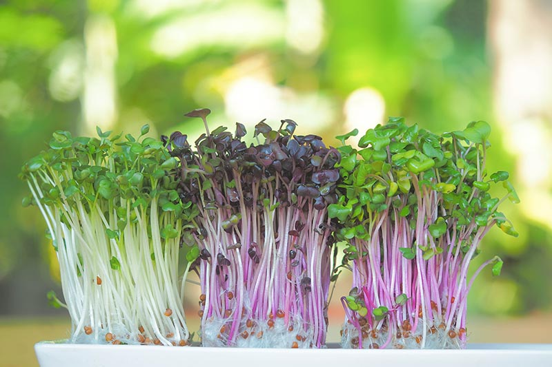 A close up of microgreen shoots growing in a white tray on a green soft focus background.