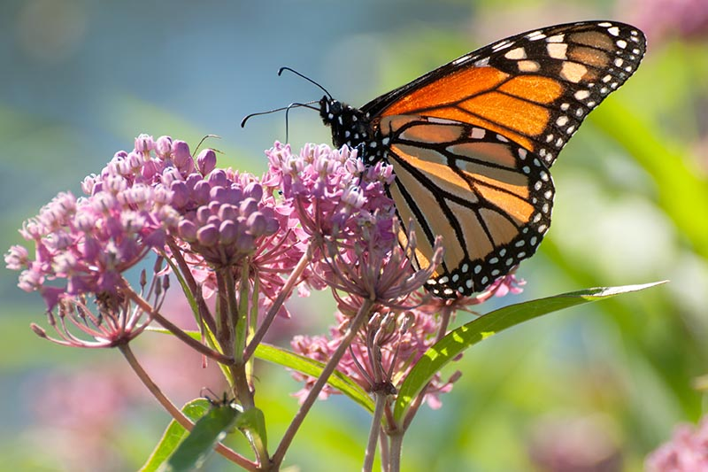 A close up of a Monarch butterfly feeding from a milkweed flower on a soft focus background.