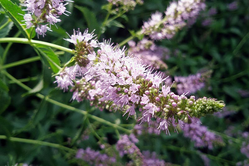 A close up of a purple flower of the Mentha plant in the garden on a soft focus background.