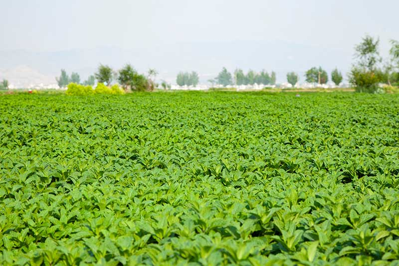 A large commercial farm of mint plants in a large area with trees in soft focus in the background.