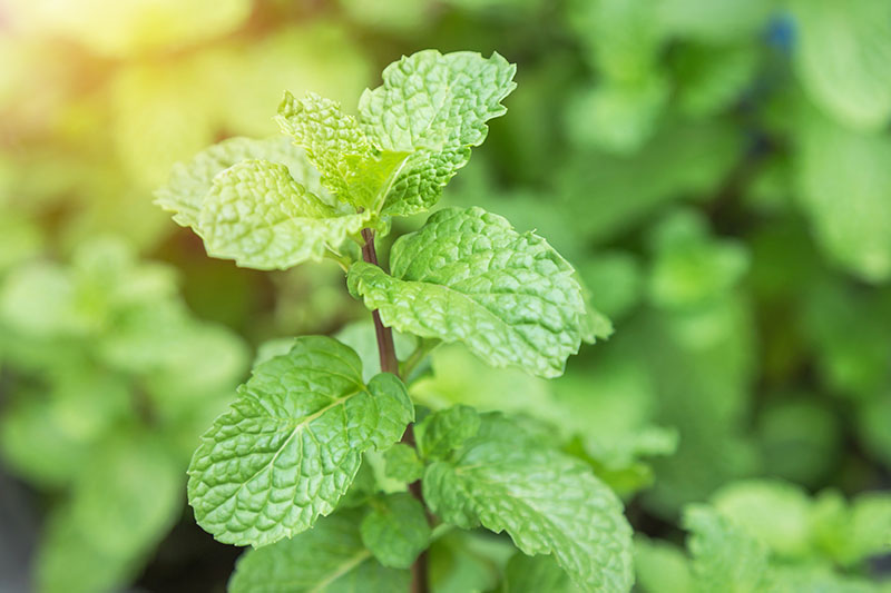A close up of a mint plant growing in the garden on a soft focus background.