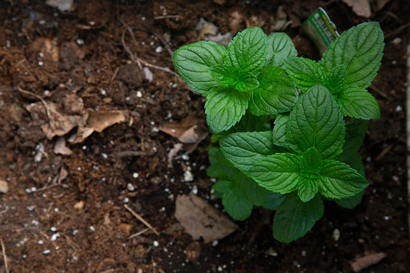 A top down close up picture of mint growing in the garden with soil in the background in soft focus.