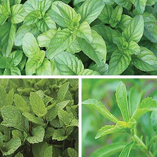 A close up of the Mint Julep Collection of herbs as a collage of pictures.