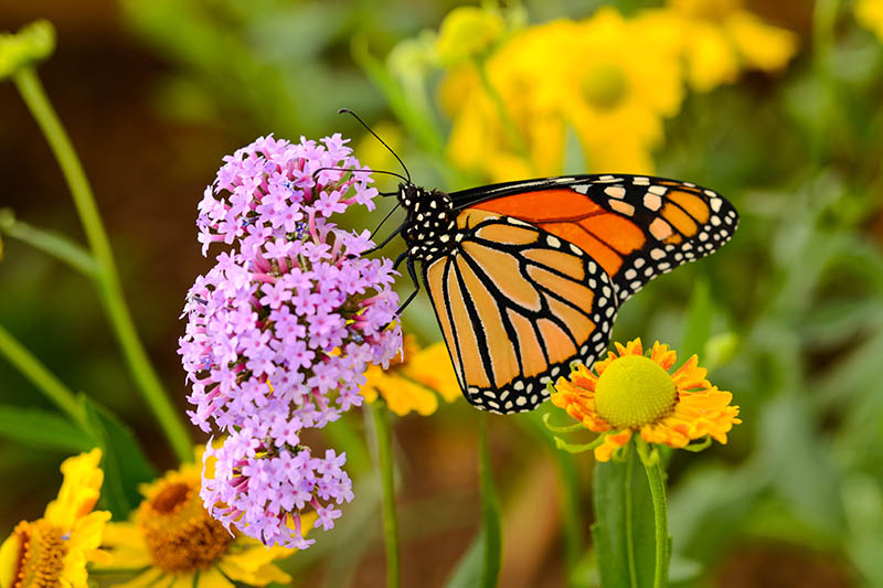 A close up of a Monarch butterfly feeding from a pink flower on a soft focus background.