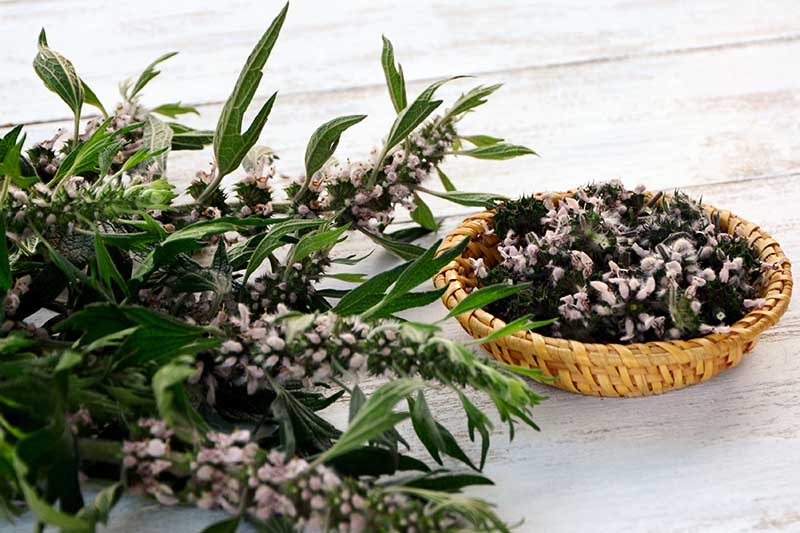 A close up of freshly harvested Leonurus cardiaca with small purple flowers, set on a wooden table, with a small wicker basket to the right of the frame.