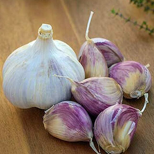 A close up of the dried bulb and cloves of the 'Music' variety of garlic set on a wooden surface.
