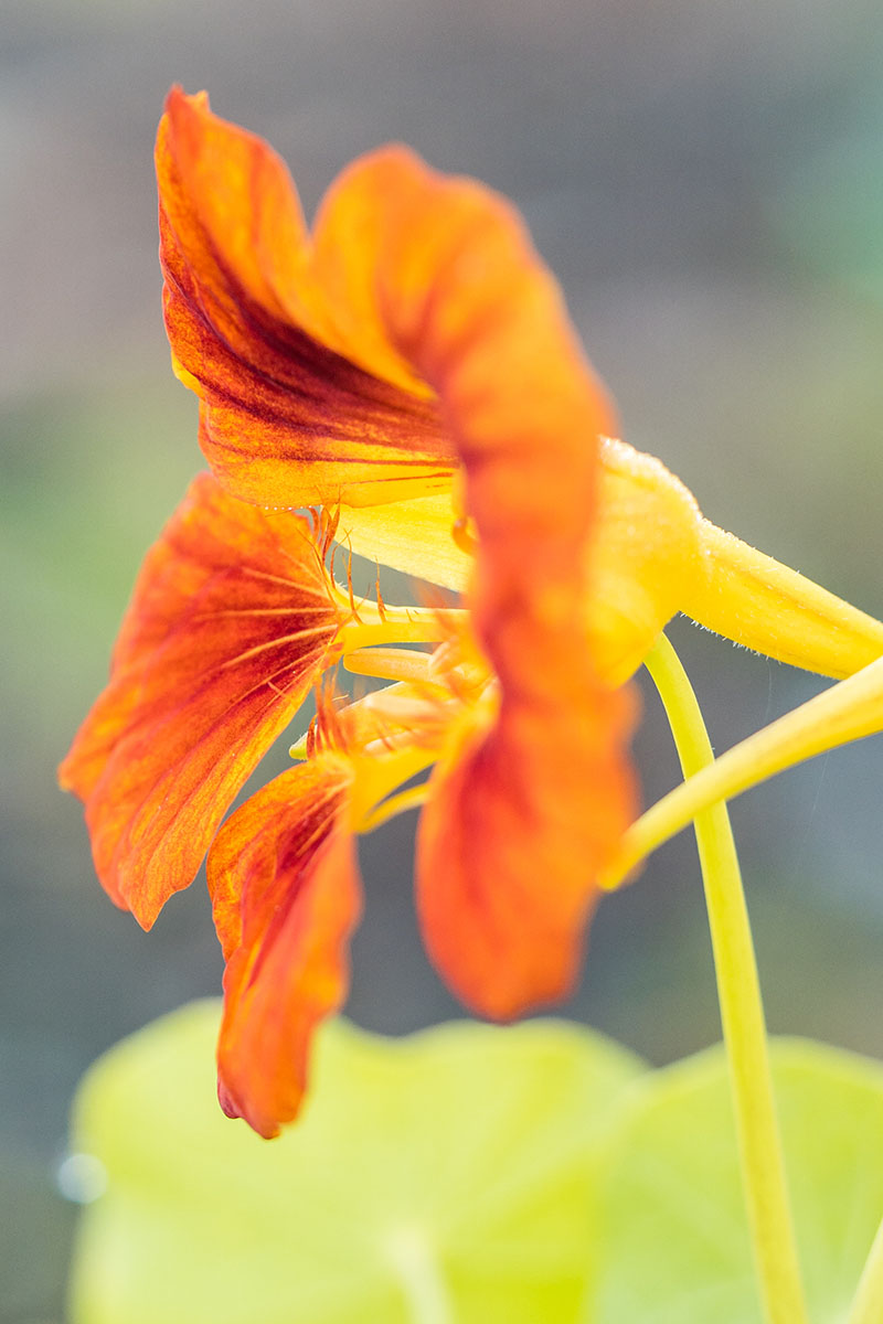 A close up vertical picture of an orange and red nasturtium flower on a soft focus background.