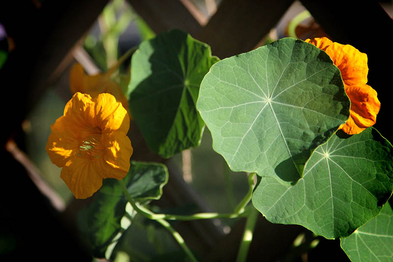 A close up of bright orange nasturtium flowers surrounded by green foliage on a dark soft focus background.