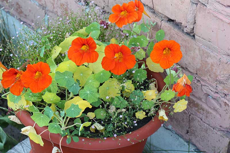 A close up of a nasturtium plant growing in a plastic pot with bright red flowers and a brick wall in the background.