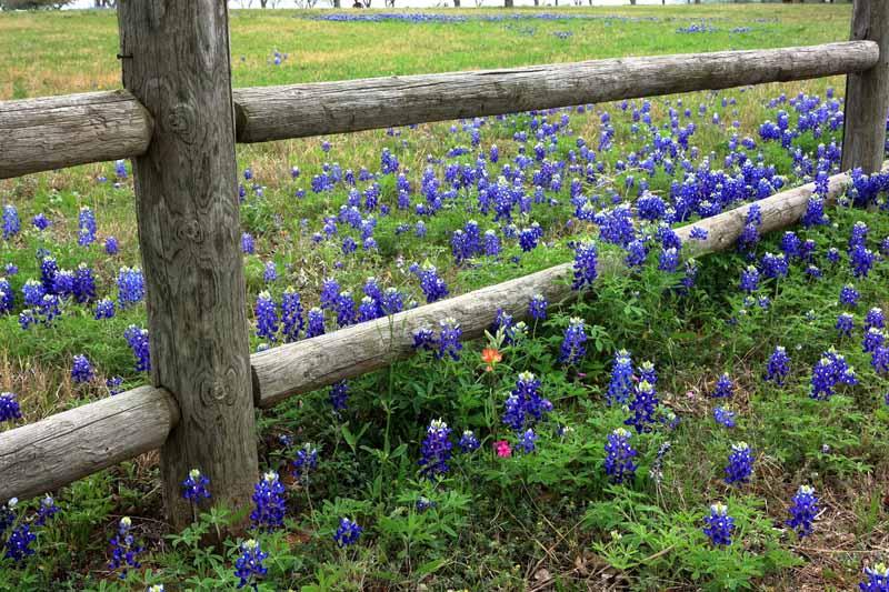 Rail Fence and Texas Bluebonnets.