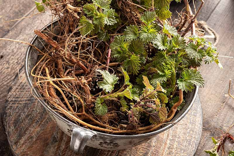 A close up of a metal bowl containing freshly harvested stinging nettle roots and leaves set on a wooden surface.