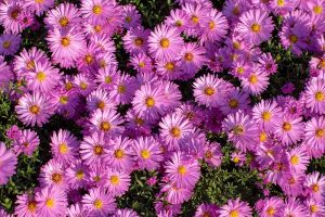 11 of the Best Pink Aster Varieties