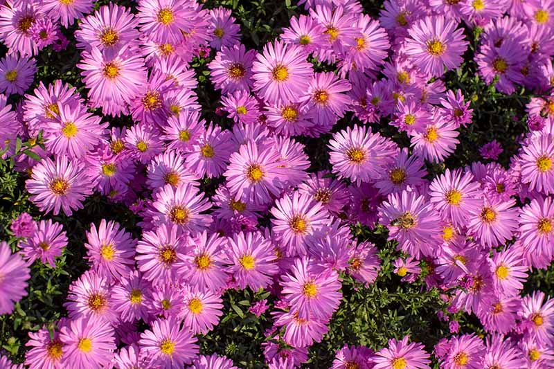 A close up of bright pink flowers growing in the garden in bright sunshine.