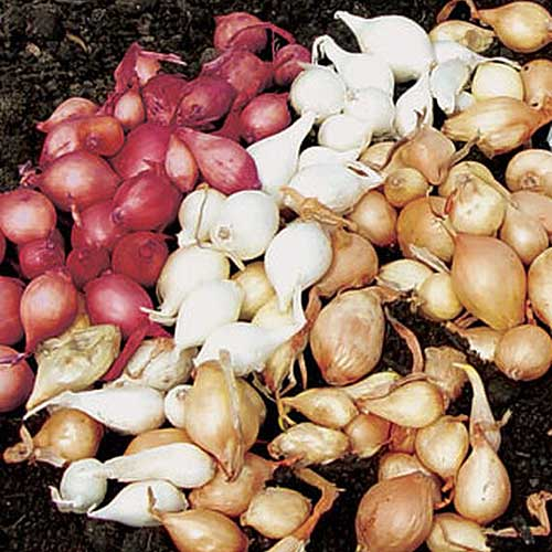 A close up of three different types of bulb onions, a purple variety, a white variety, and a brown variety set on garden soil.