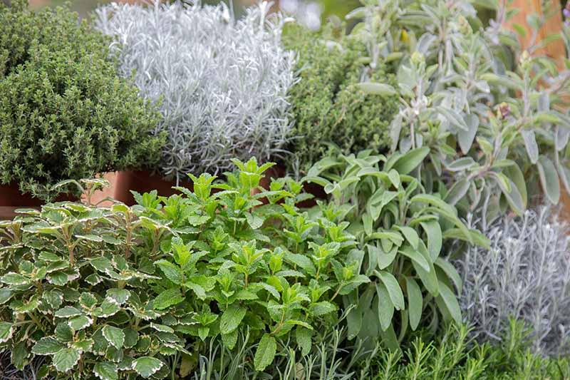 A garden scene of fresh herbs growing outdoors in terra cotta pots.