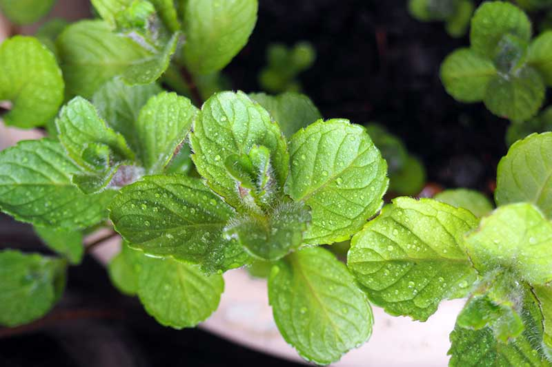 A close up of the leaves of Mentha x piperita growing in a terra cotta container with water droplets on the leaves, on a soft focus background.