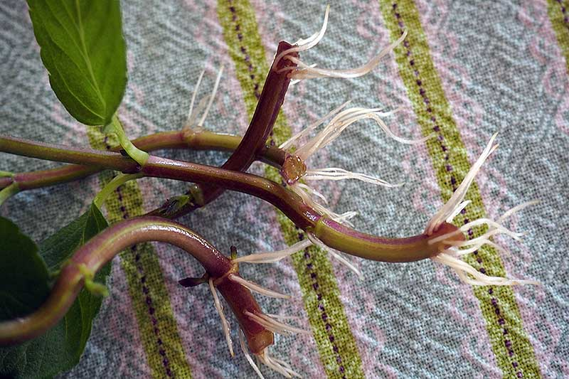 A close up of the stems of a Mentha plant, taken as a cutting and placed in water showing the new root development. The background is a striped fabric.