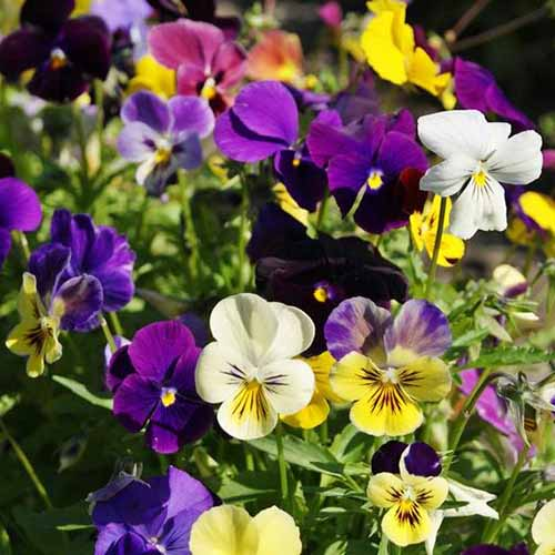 A close up of variously colored pansies growing in the garden in bright sunshine on a soft focus background.