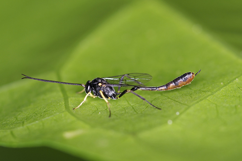 A close up of a parasitic wasp, a small black and yellow insect, on a green leaf, fading to soft focus in the background.