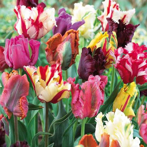A collection of multicolored tulip flowers growing in the late spring garden on a soft focus background.