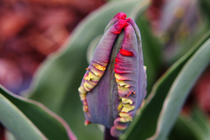 A close up of a dark flower bud before opening with yellow and red edging on a soft focus background.