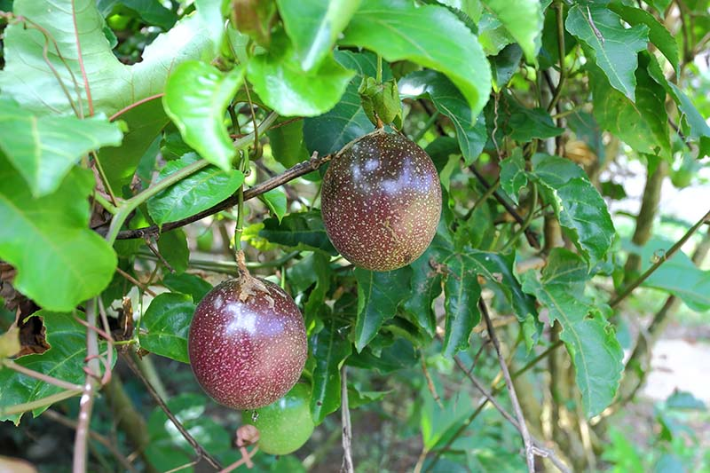 Two reddish-brown colored passion fruits hanging from the vine, pictured in light sunshine.