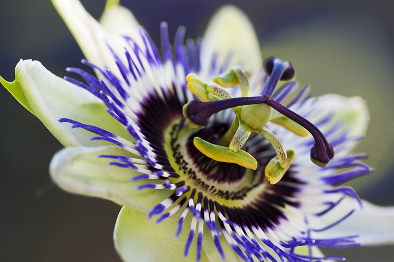 A close up picture of the center of a Passiflora flower with light petals and blue, white, and purple crown, on a soft focus background.